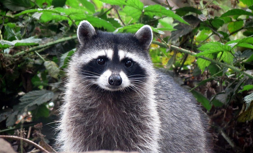 Here's Why 'Raccoon' Infostealer Is Popular With Criminals